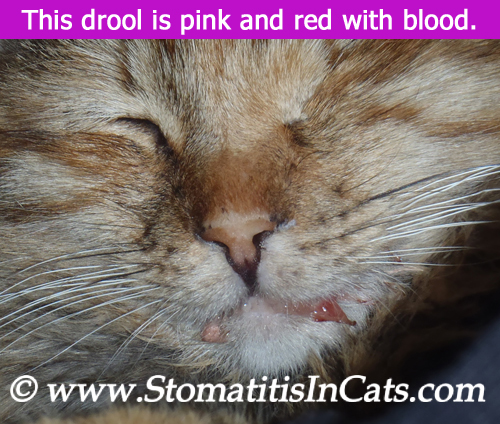 Cat drooling from stomatitis with blood in the drool