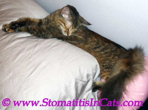 Weight loss in a cat due to stomatitis